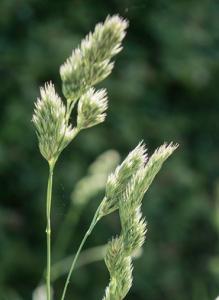 Cocksfoot (Dactylis glomerata)