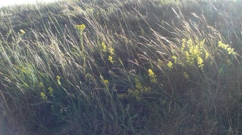 MMM_the edge of Jacksons field on City Way - ladies' bedstraw - and it looks like ragwort (Thelma West)