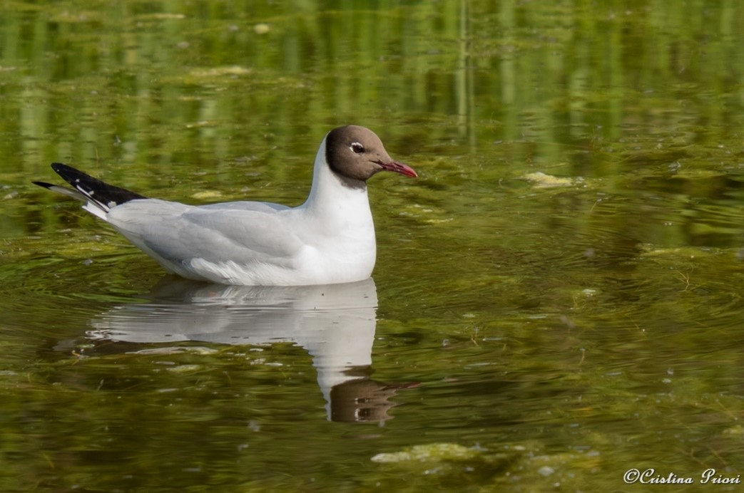 Black-headed gull (Chroicocephalus ridibundus) swimming peacefully in one of the ponds at Riverside Park.
