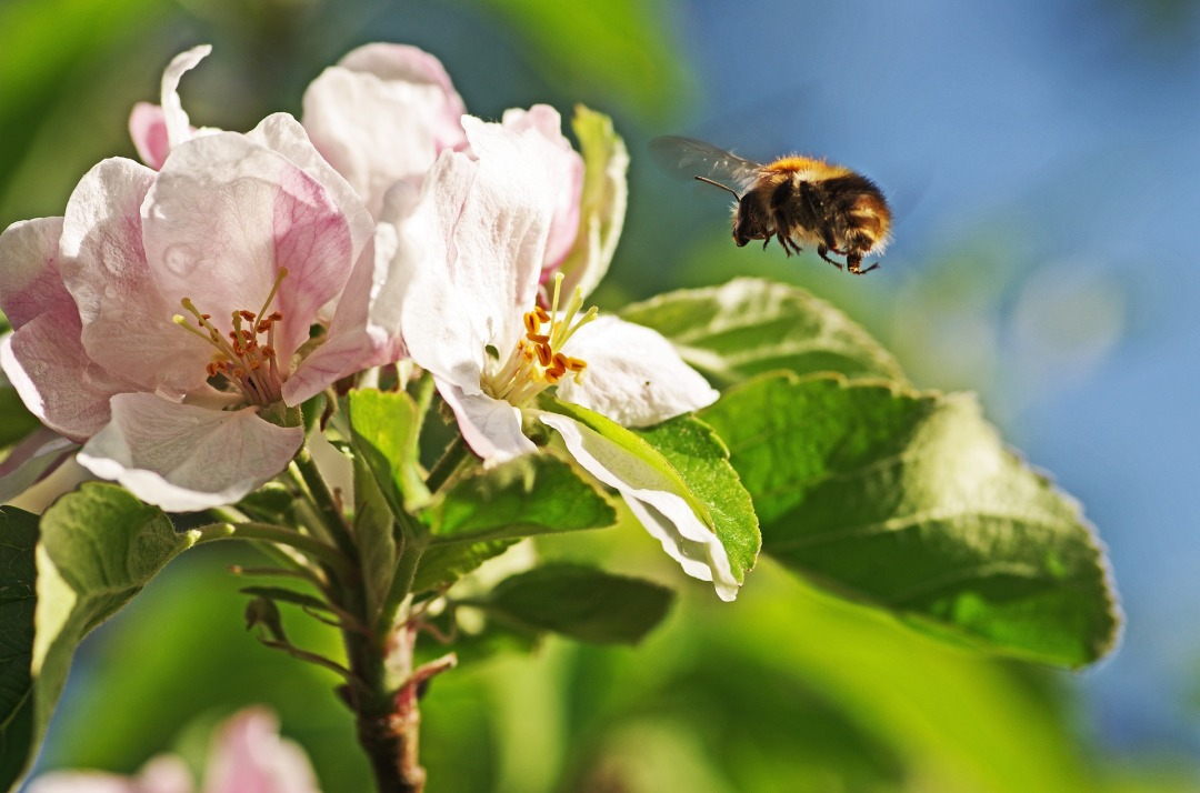 Bumblebee on Apple Blossom