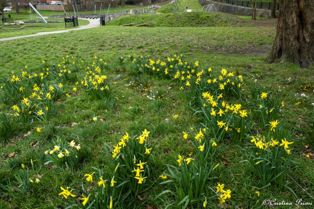 Crocuses and daffodils blooming at Hillyfields Community Park.