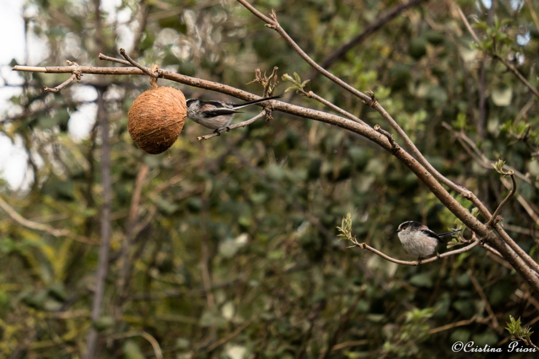Long-tailed Tit (Aegithalos caudatus) feeding on a coconut suet shell at Riverside Country Park (and another waiting for its turn).