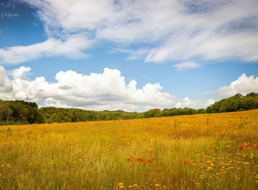 Ranscombe Reserve meadow with poppies | Credit: Zoe J Photography