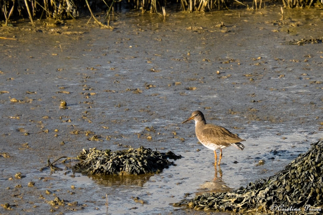 Redshank (Tringa totanus) looking for food on the mudflat during the low tide at Riverside Park.