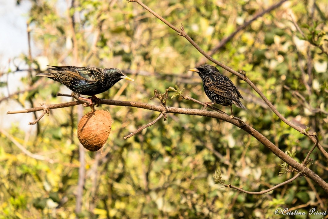 Starlings (Sturnus vulgaris) feeding on a coconut suet shell at Riverside Country Park.
