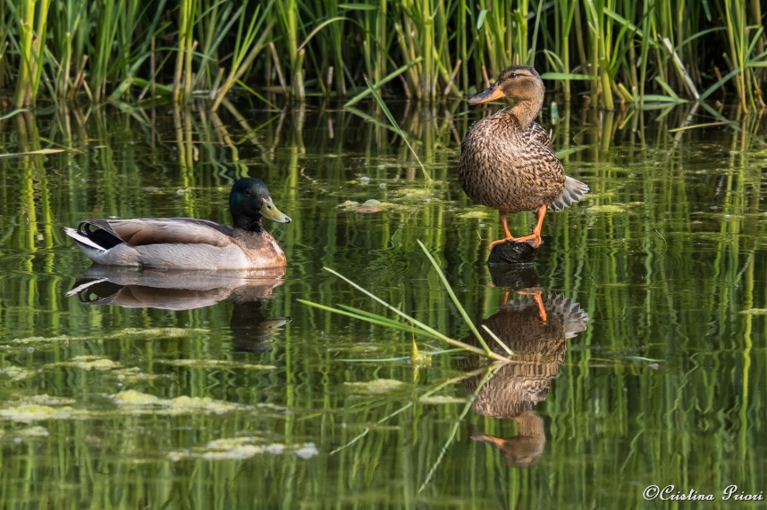 A couple of Mallards (Anas platyrhynchos) in the pond near the visitor centre at Riverside Country Park