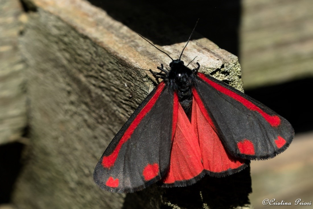 Cinnabar (Tyria jacobaeae) in a private garden in Gillingham