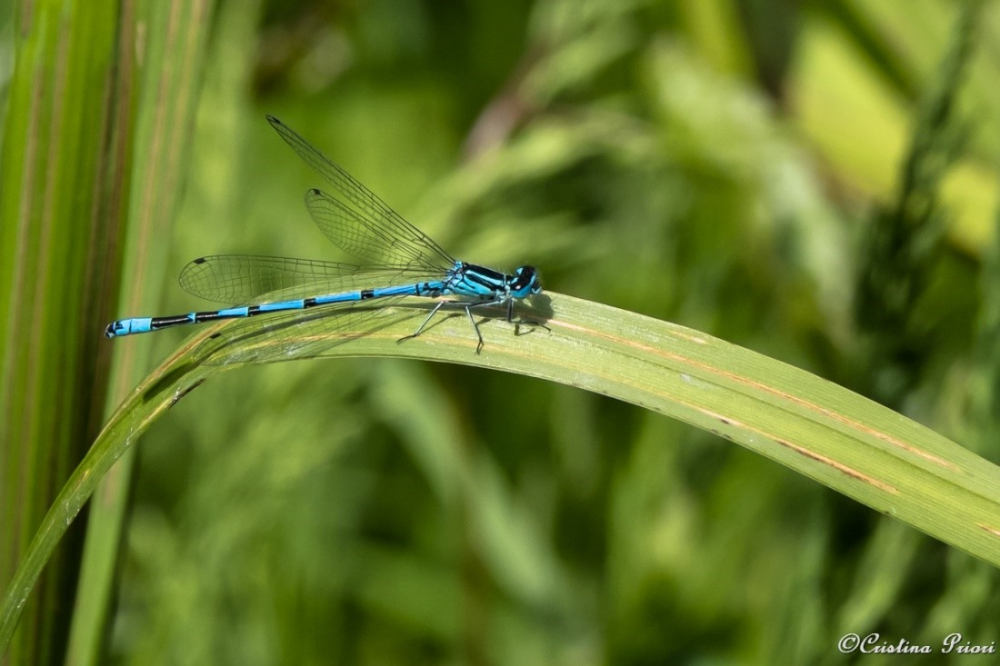 Blue Damselfly (Enallagma cyathigerum) on a leaf in the pond close to the visitor centre at Riverside Country Park