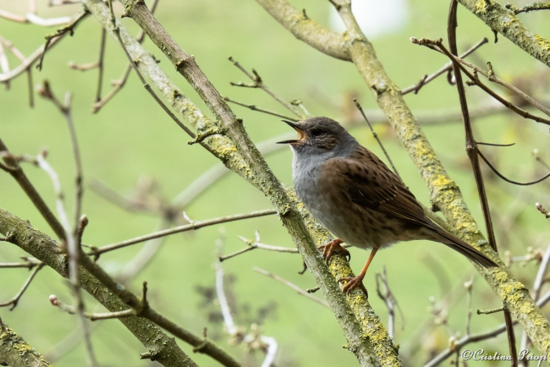 Dunnock (Prunella modularis) singing on a branch in the bush at Capstone Farm Country Park.