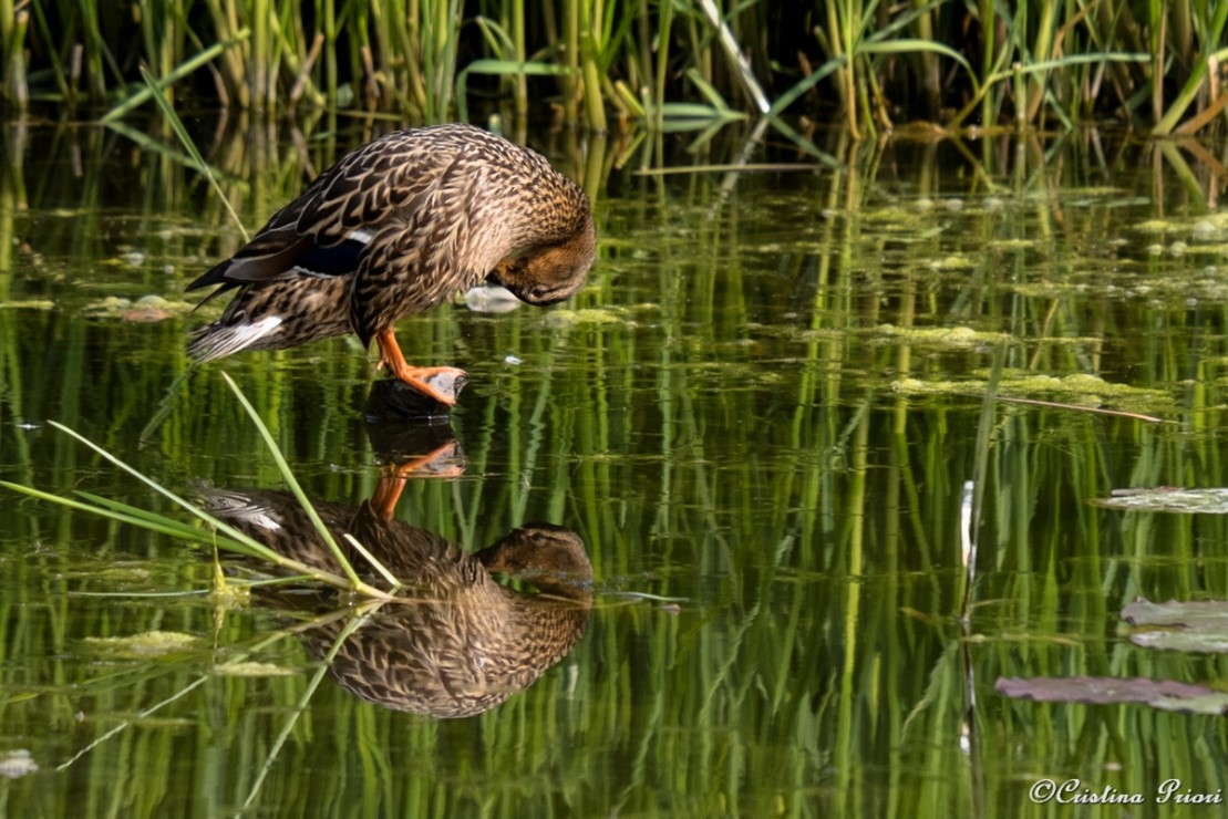 Female Mallard (Anas platyrhynchos) taking care of her plumage at Riverside Country Park