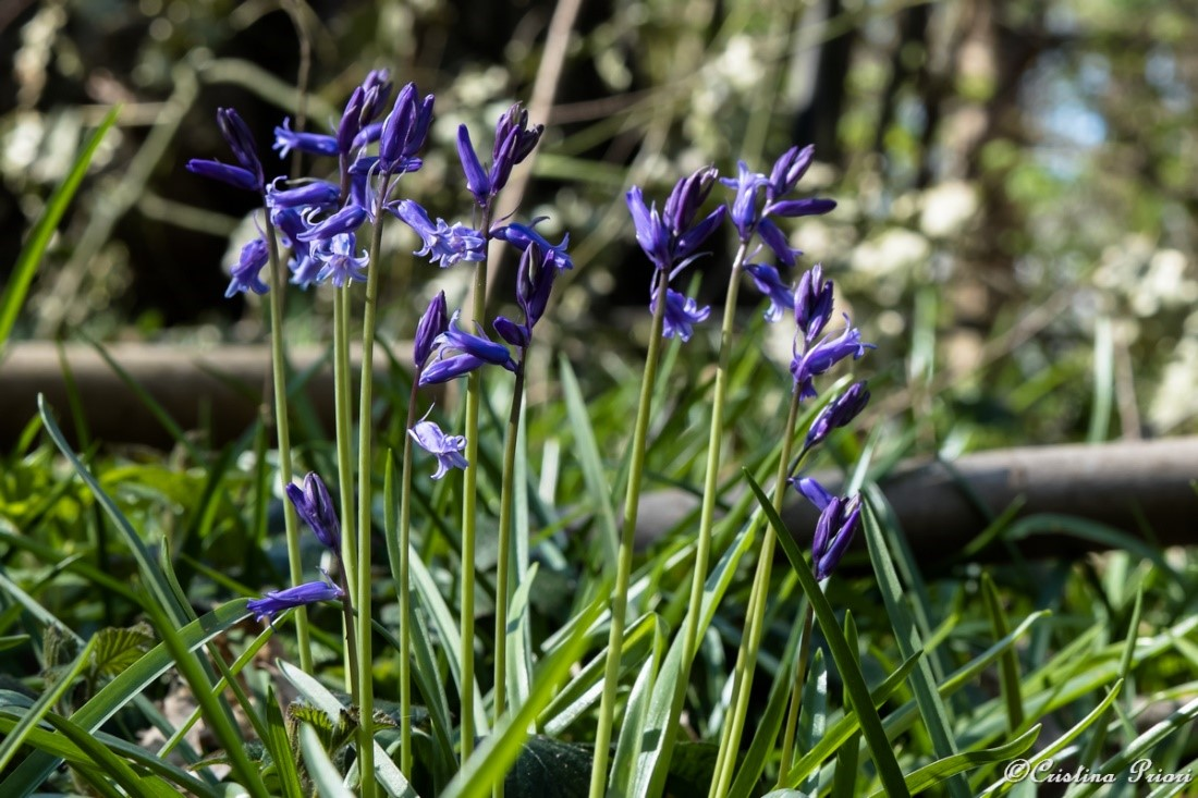A group of Bluebells in the Ashenbank Wood