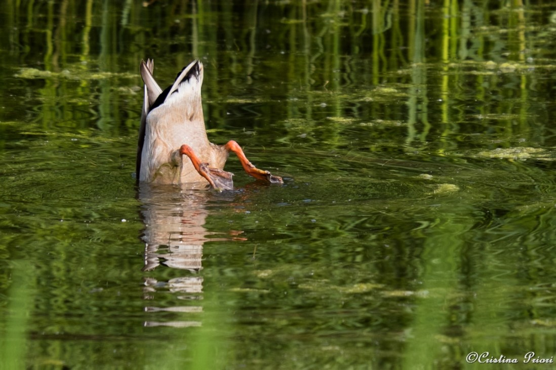 Male Mallard (Anas platyrhynchos) diving for food at Riverside Country Park