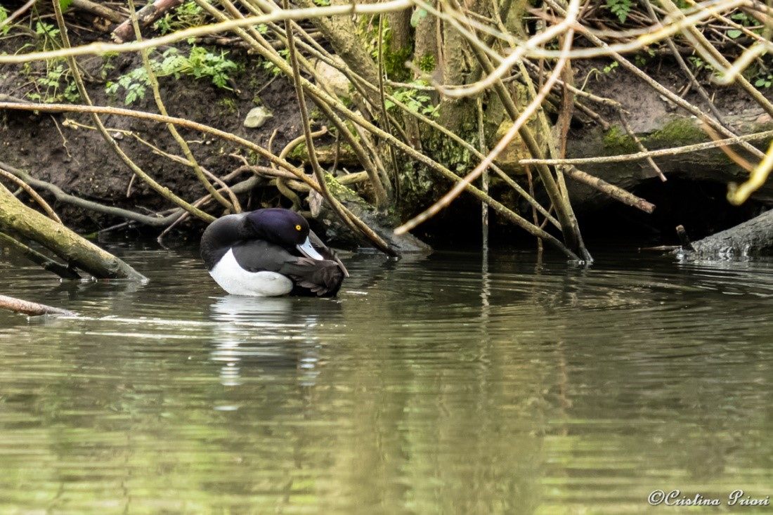 Male Tufted duck (Aythya fuligula) taking care of his plumage on the pond at Capstone Farm Country Park.
