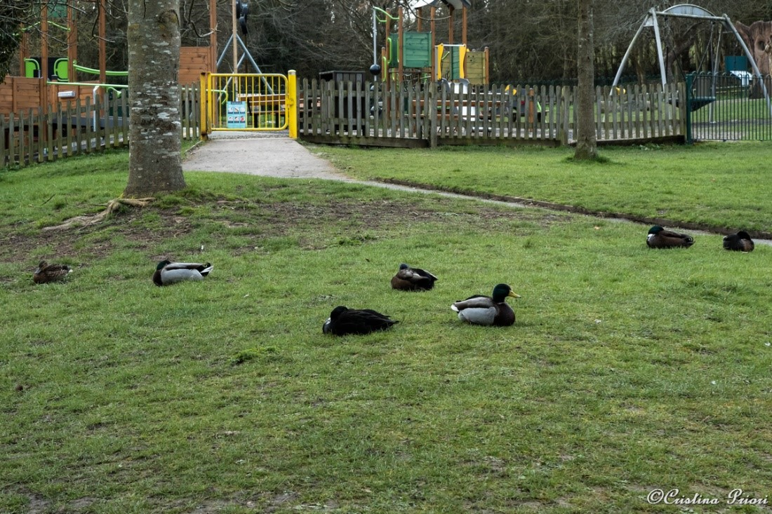 Mallards (Anas platyrhynchos) resting on the grass on early morning at Capstone Farm Country Park.