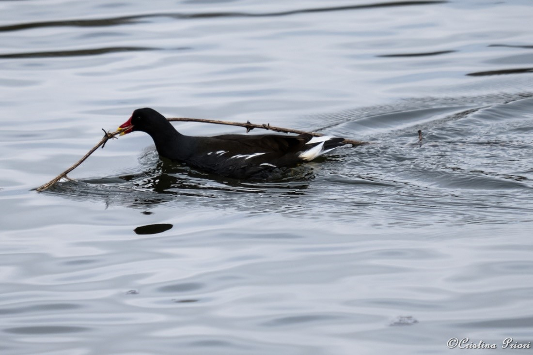 Moorhen (Gallinula chloropus) carrying a bramble branch on the pond at Capstone Farm Country Park.