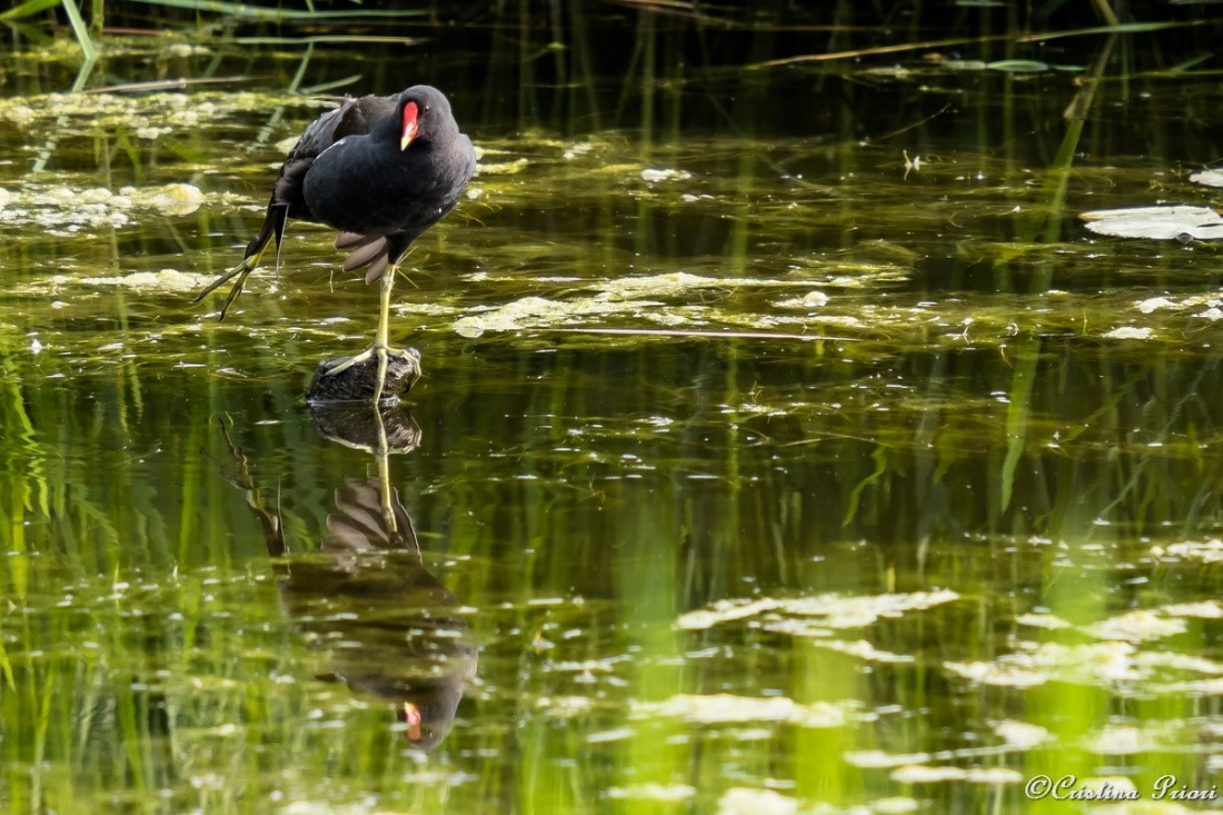 Moorhen (Gallinula chloropus) stretching her leg in the pond at Riverside Country Park