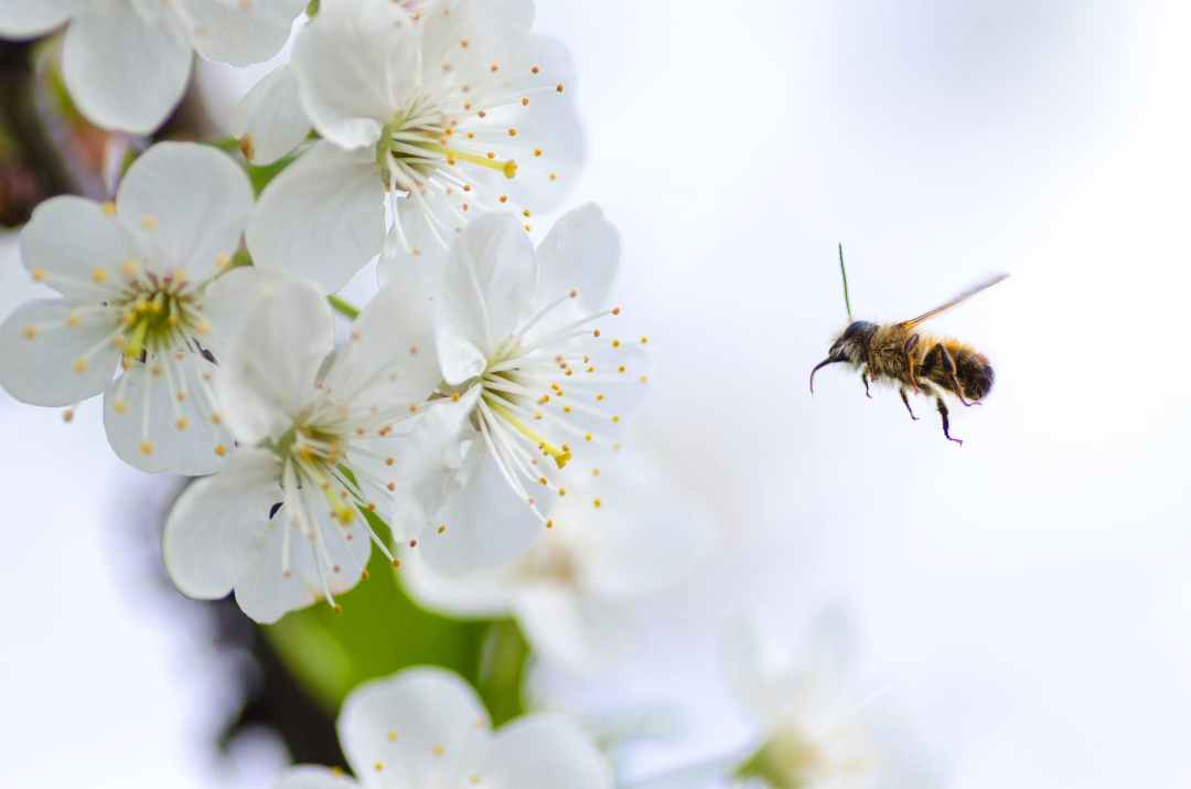 Brown flying bee and blossom
