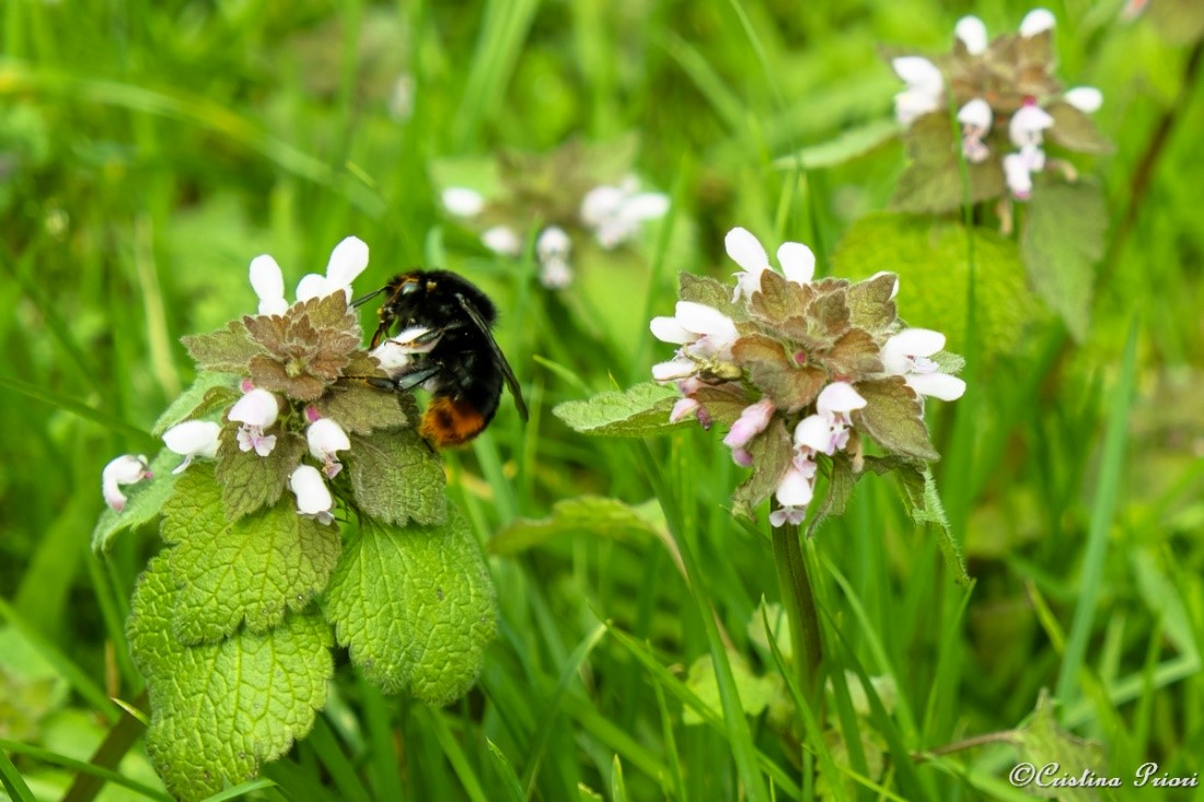 Red-tailed Bumblebee (Bombus lapidaries) feeding on Red Dead Nettle in a private garden in Gillingham