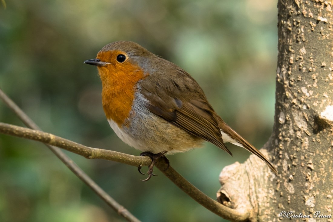 Robin (Erithacus rubecula) on a branch in the bush at Ashenbank Wood