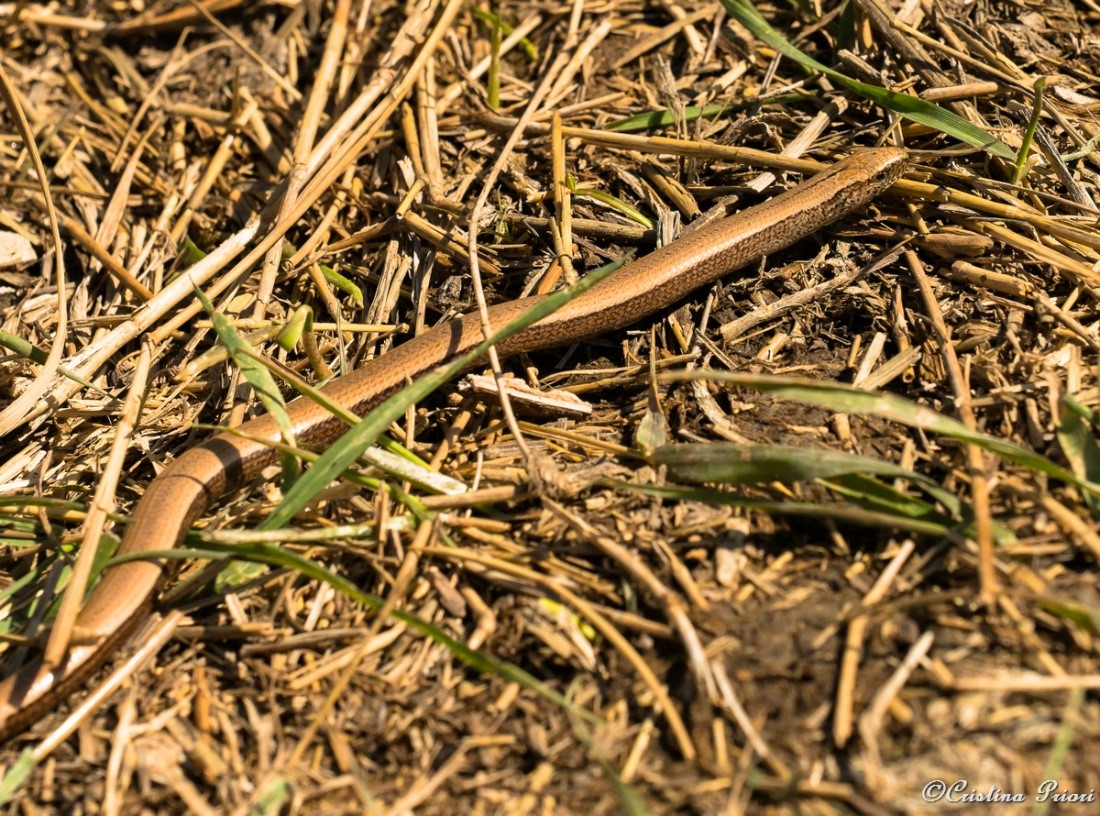 Slow worm (Anguis fragilis) basking in the sun along the Medway shore after hibernation. Camouflaged for protection against predators such as Kestrels or cats!