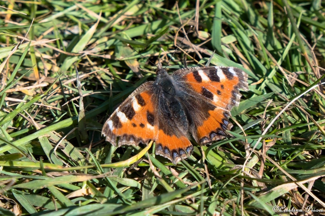 Small Tortoiseshell (Aglais urticae) basking in the sun at Riverside Country Park.
