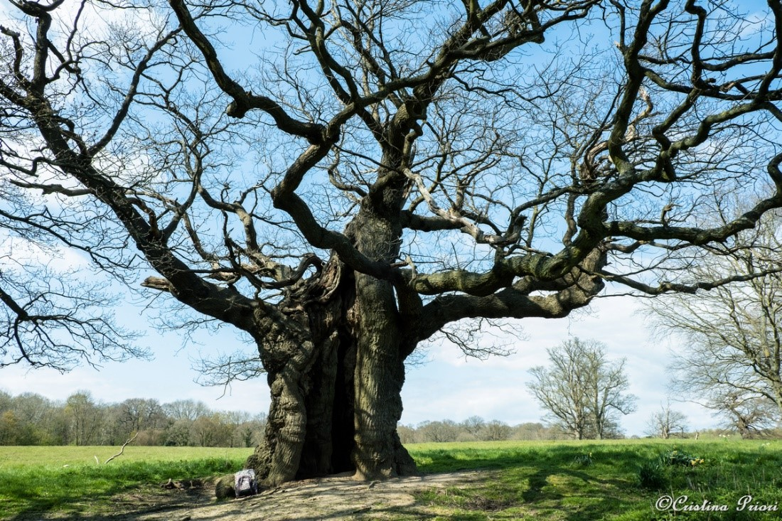 The Giant – A veteran tree in the surrounding of Cobham. The backpack on the bottom left can give you an idea of the tree's size