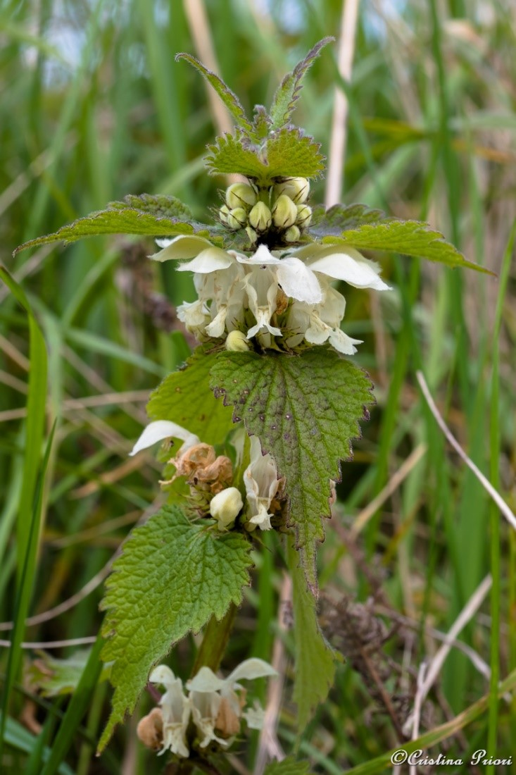 White dead-nettle (Lamium album) now coming into flower everywhere.