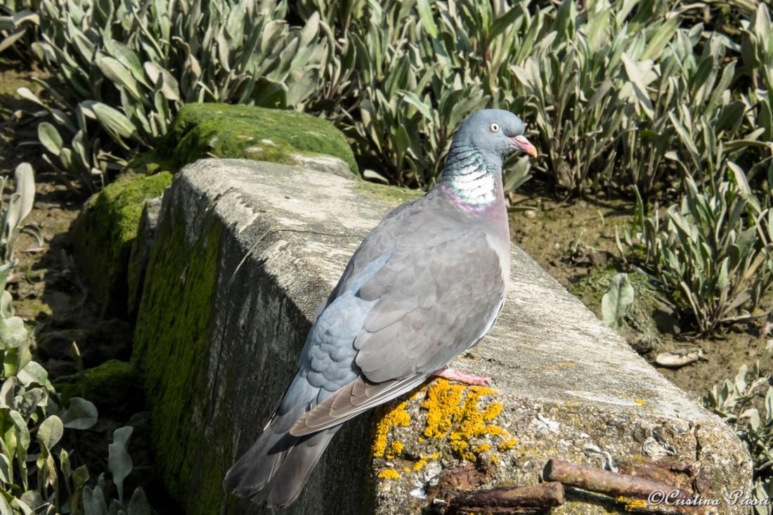 A Woodpigeon (Columba palumbus) at Riverside Country Park