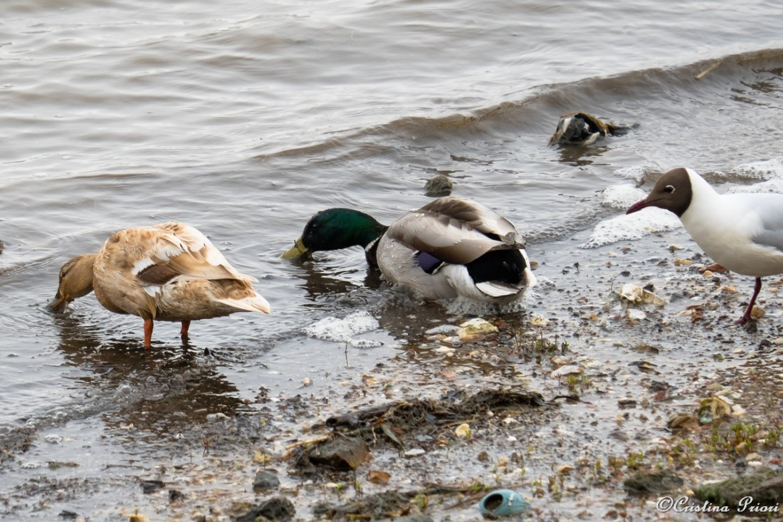 """A couple of Mallard (Anas platyrhynchos) with a pale female searching for food along the Medway near Motney Field. A Black-headed gull seems to wonder """"What are you doing?"""""""