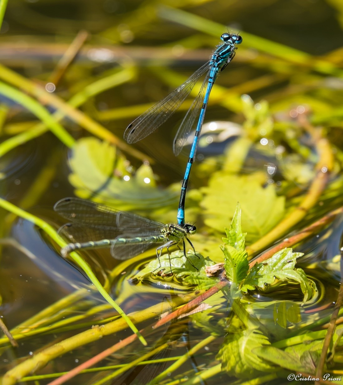 Mating couple of Blue Damselfly in a pond at Berengrave Nature Reserve - Rainham.
