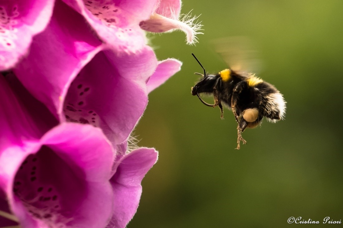 Garden bumblebee (Bombus hortorum) approaching a Foxglove flower in a private garden at Gillingham