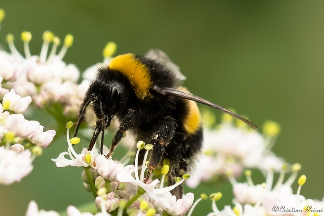 Buff or White bumblebee (Bombus terrestris or lucorum) feeding at Hillyfields Community Park