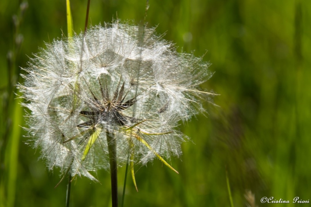 A Dandelion clock waiting for a gust of wind to disperse its seeds: a task that is often done by us humans!