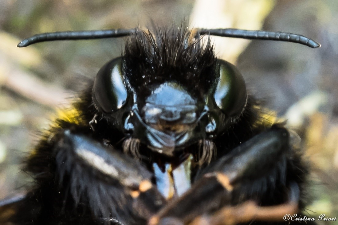 Bumblebee close-up: unfortunately this individual, found along the Medway shore, was dead, but still beautiful.