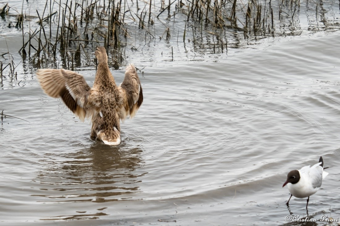 """Pale Mallard female flapping her wings along the river Medway shore. (I imagine the gull, passing by in the corner, thinking """"Bah... exibitionist!"""")"""