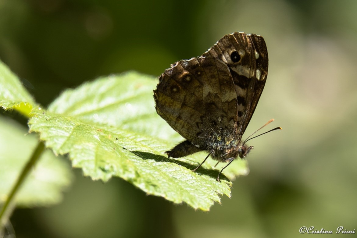 Speckled Wood (Pararge aegeria) laying an egg on a bramble leaf at Berengrave Nature Reserve - Rainham.