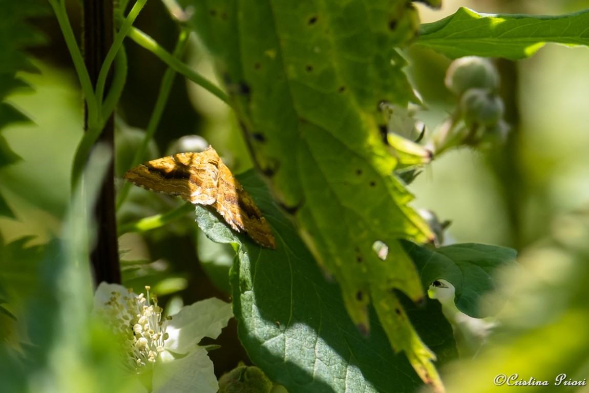 A small moth hides in the bushes at Berengrave Nature Reserve - Rainham.