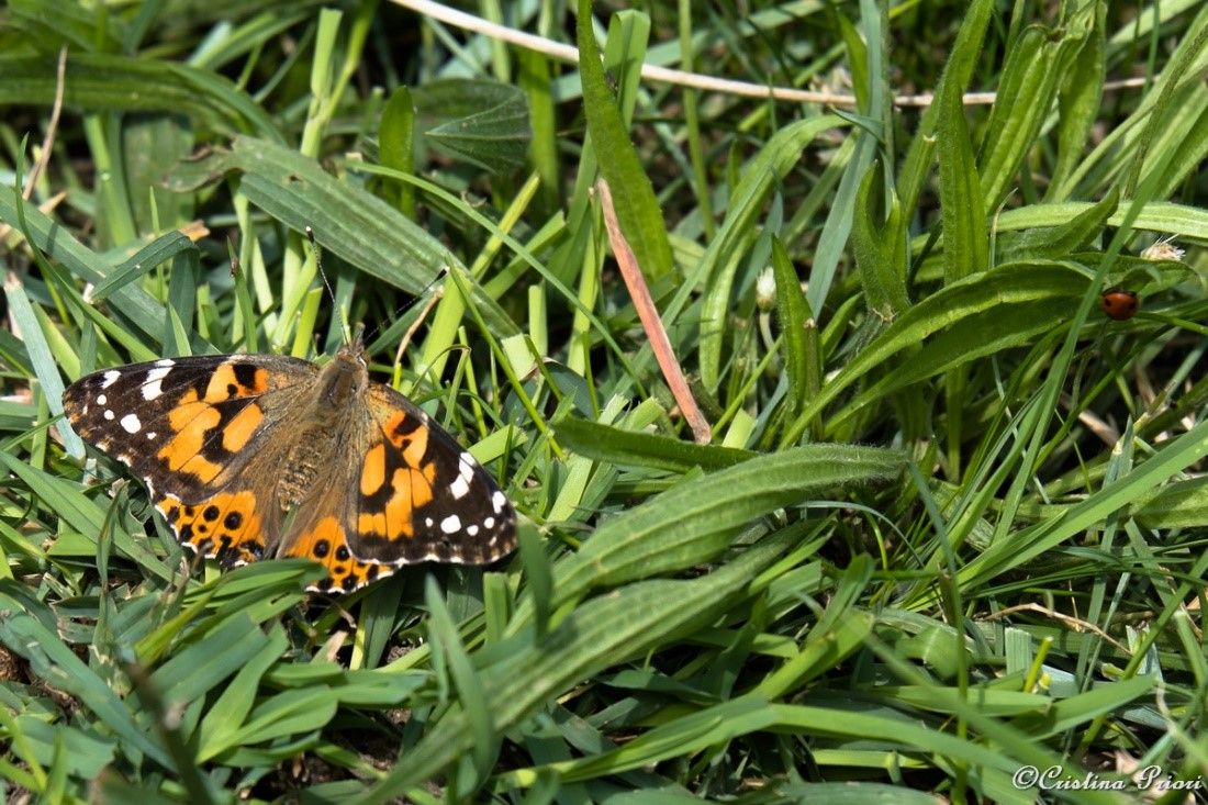Painted Lady (Vanessa cardui) resting in the grass at Motney Field with a companion