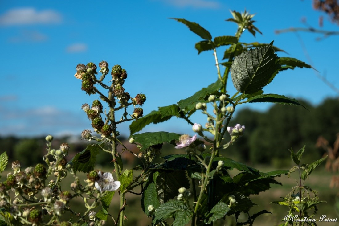 Blackberries are on their way to reach full ripening, for the joy of birds and humans!