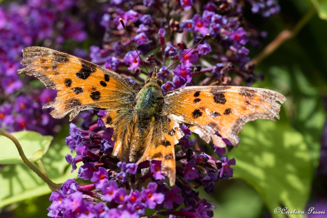 A Comma (Polygonia c-album) with damaged wings on a Butterfly Bush flower (Buddleja davidii) at Berengrave Nature Reserve (Rainham).