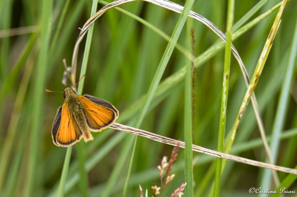 Essex skipper (Thymelicus lineola) in the grass along the River Medway shore.