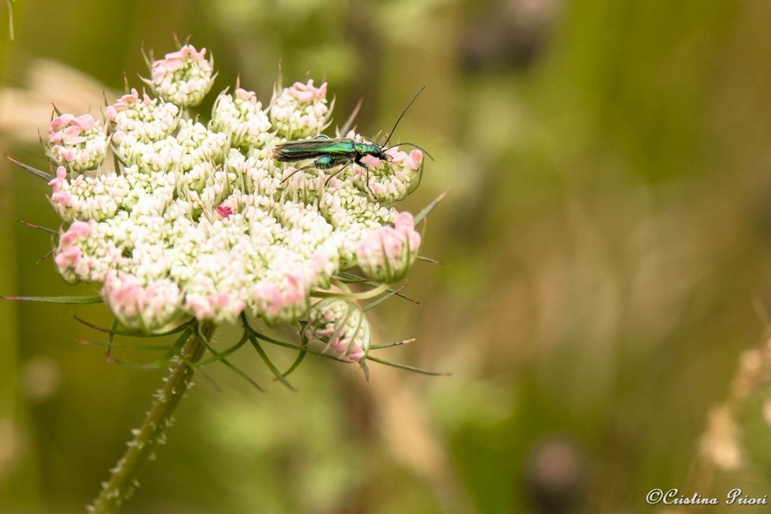 A male False oil beetle or Thick-legged flower beetle or swollen-thighed beetle (Oedema nobils) on a Wild carrot flower (Daucus carota) in the didactic field at Riverside Country Park.