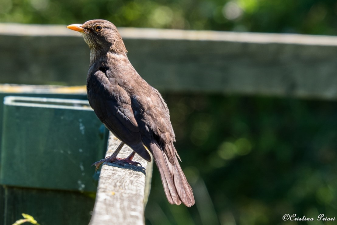 A female Blackbird (Turdus merula) on the fence of the main pond at Riverside Country Park.