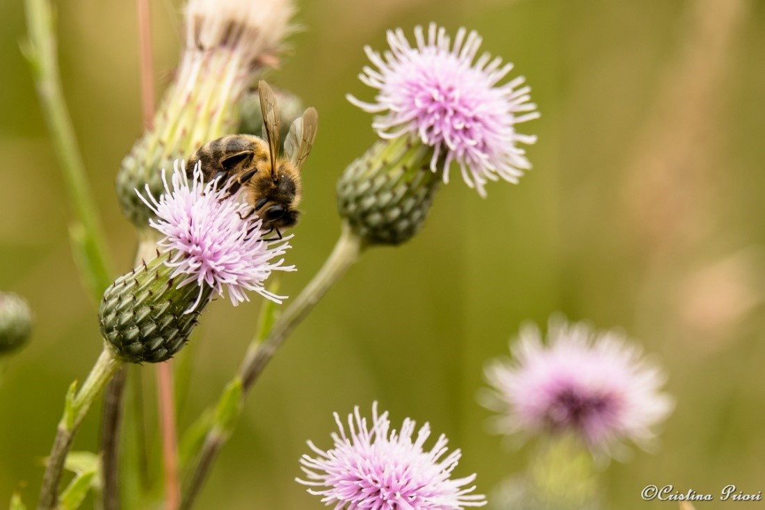 Honey Bee (Apis mellifera) feeding on a Thistle flower in a field along the River Medway Shore.