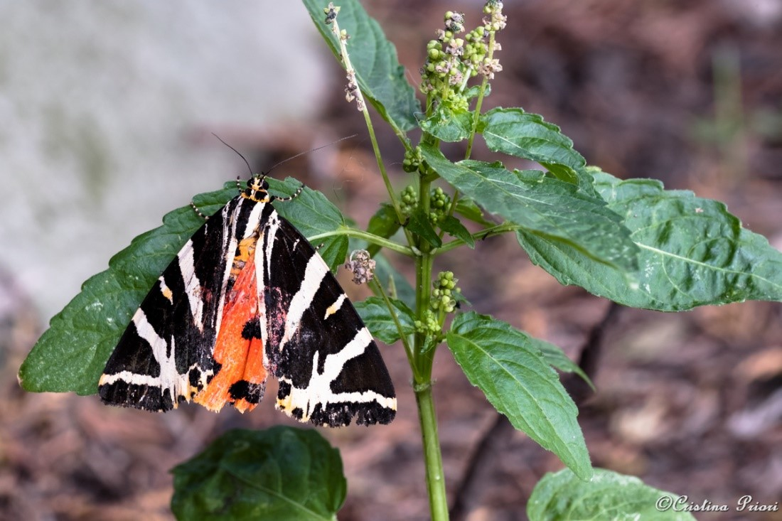 A Jersey Tiger (Euplagia quadripunctaria) warming up in early morning in a private garden in Gillingham.
