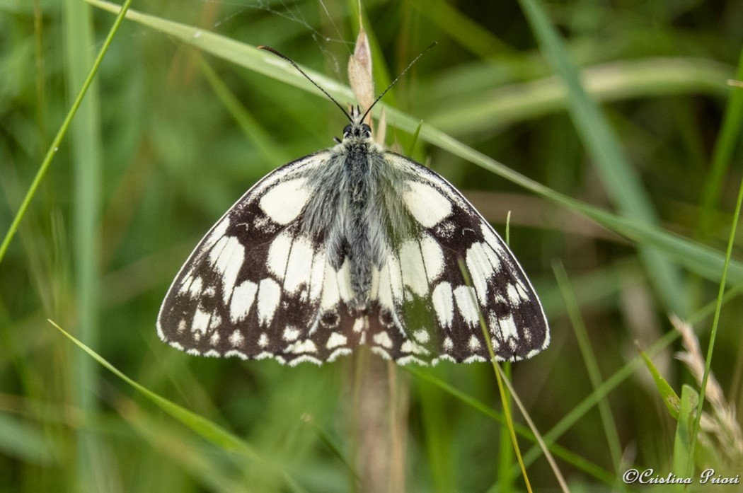 Marbled White (Melanargia galathea) male on the grass along the River Medway shore. The white border of the forewings identifies this specimen as a male.
