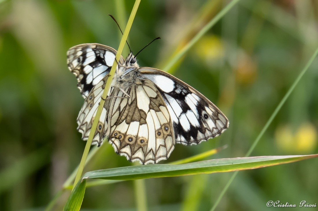 Marbled White (Melanargia galathea) underwing – on a grass stem along the River Medway shore.