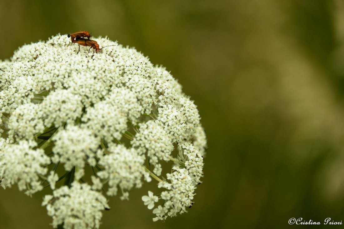 Mating couple of Common Red Soldiers beetles (Rhagonycha fulva) on a Wild Carrot flower (Daucus carota) in the didactic field at Riverside Country Park.