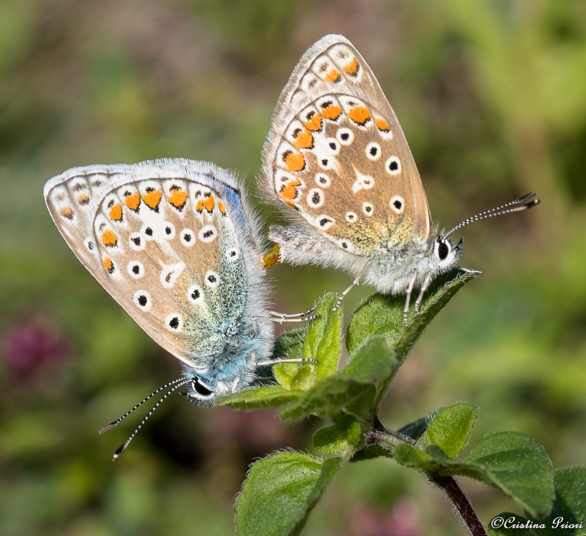 Mating couple of Chalk Hill Blue (Polyommatus coridon) at Darland Banks