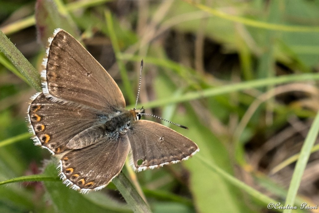 Chalk Hill Blue – female at Darland Banks